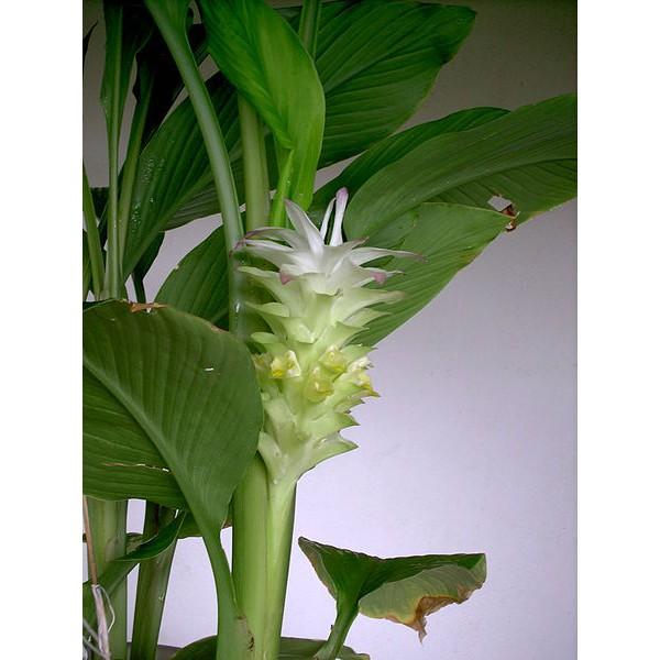 Curcuma Plante Appartement